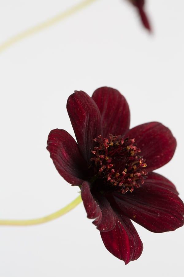 Chocolate Cosmos Zest Flowers Flowerona 600-54
