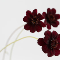 Chocolate-Cosmos-Zest-Flowers-Flowerona-Feature