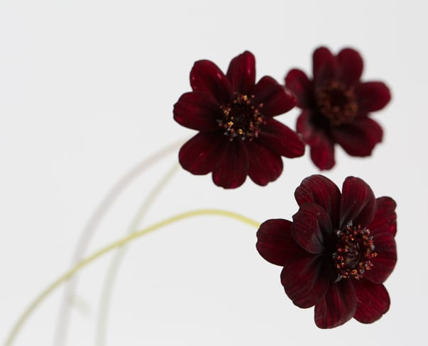 Chocolate Cosmos…a beautifully dainty flower which really does have a chocolate scent!