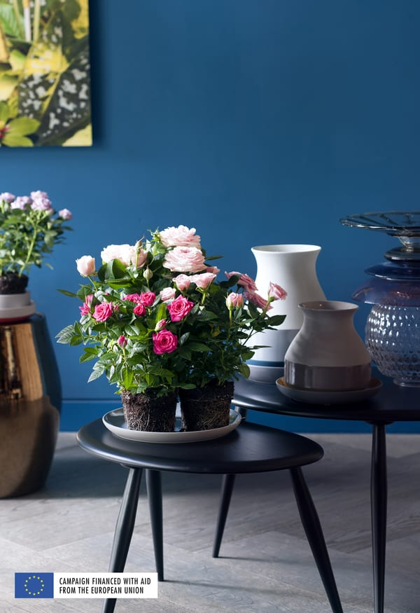 Houseplant-of-ther-Month-Potted-Rose-Flowerona-3