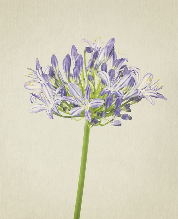 Agapanthus-Anthology-of-Flowers-Richard-Maxted-Flowerona