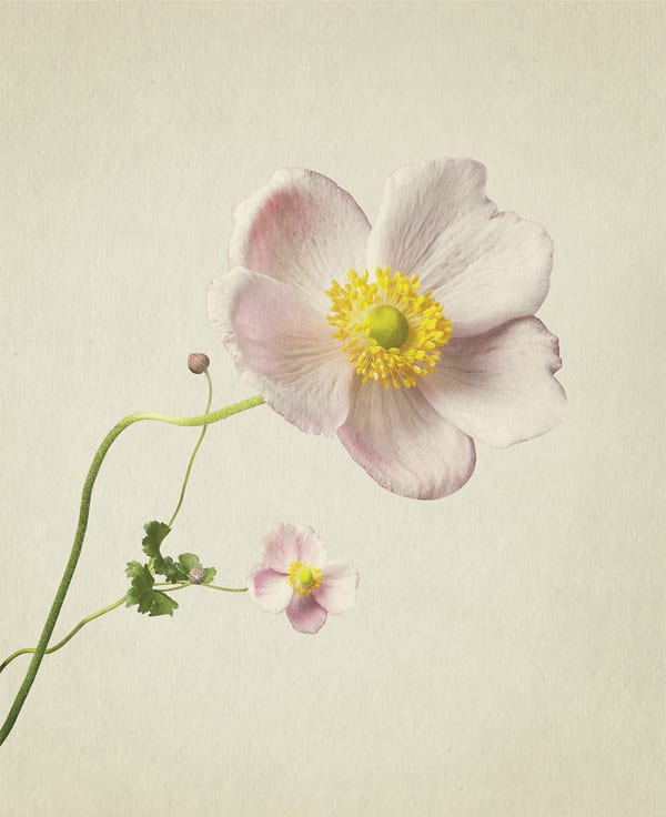 Anenome-Anthology-of-Flowers-Richard-Maxted-Flowerona