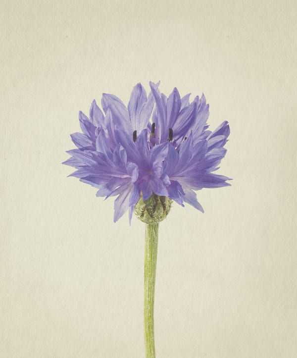 Cornflower-Anthology-of-Flowers-Richard-Maxted-Flowerona