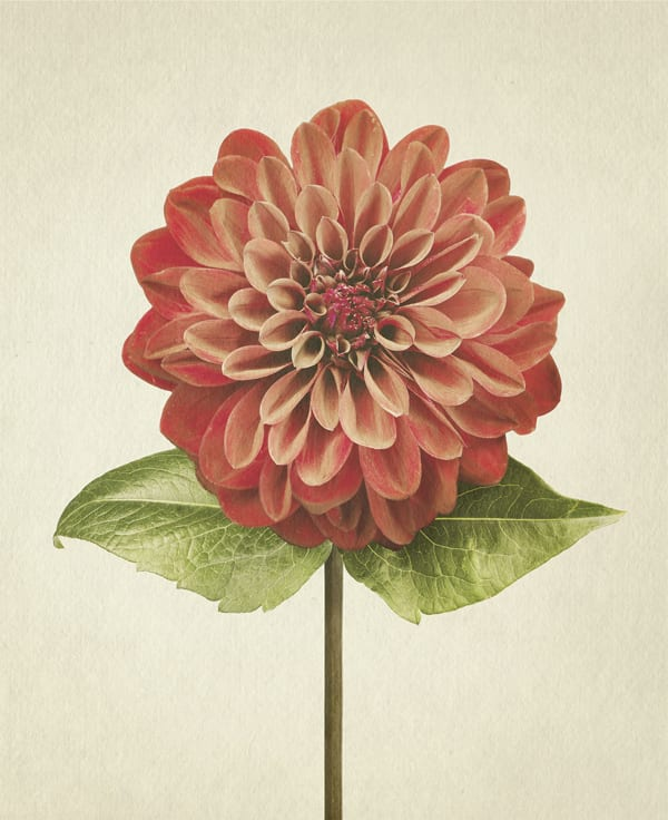 Dahlia-Anthology-of-Flowers-Richard-Maxted-Flowerona