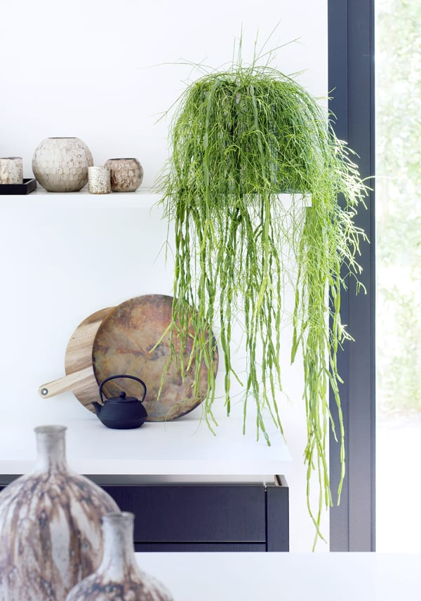 Hanging-Plants-Houseplant-of-the-Month-Flowerona-2