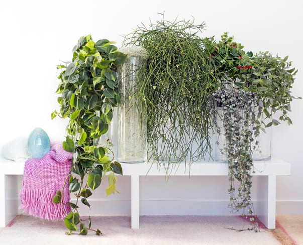 Houseplant of the Month – Hanging Plants