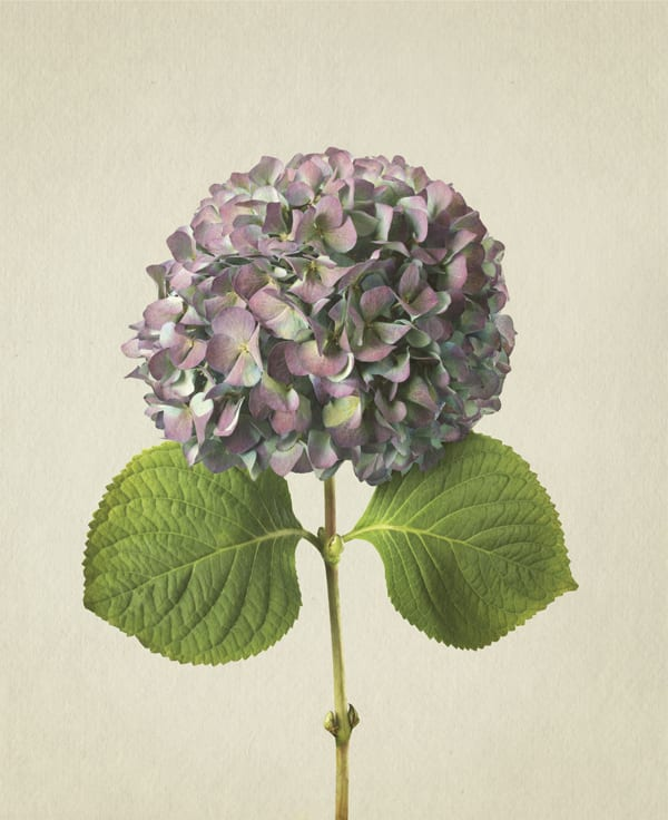 Hydrangea-Anthology-of-Flowers-Richard-Maxted-Flowerona