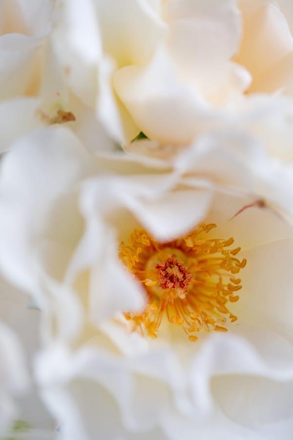 Margaret Merril Roses Zest Flowers Flowerona 600-59