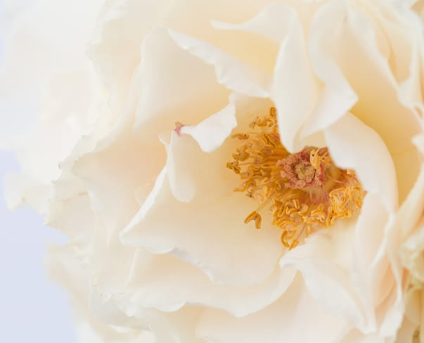 Margaret Merril roses…such incredibly scented blooms