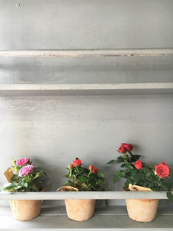 Rose-Plants-Flowerona