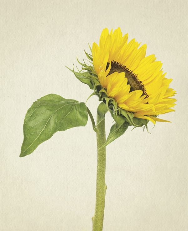 Sunflower-Anthology-of-Flowers-Richard-Maxted-Flowerona