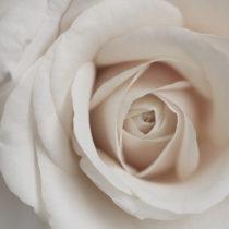 rose-100-feature