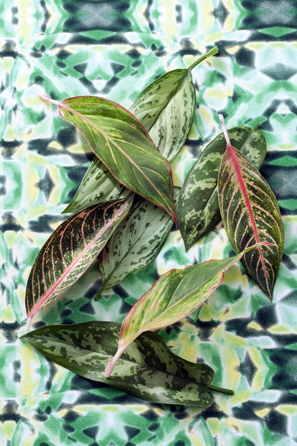 chinese-evergreen-housplant-of-the-month-flowerona-2