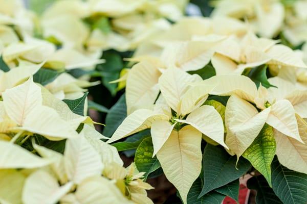 feelings-white-poinsettia-stars-for-europe-2016-flowerona-3