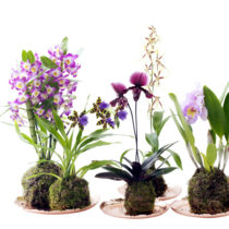 houseplant-of-the-month-speciality-orchids-flowerona-feature