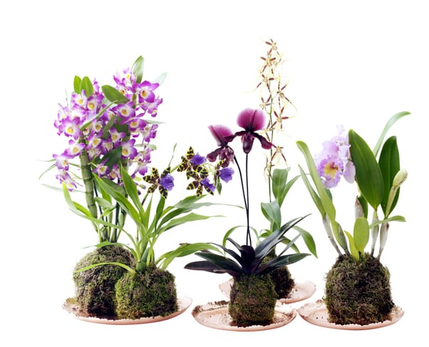 Houseplant of the Month – Speciality Orchids
