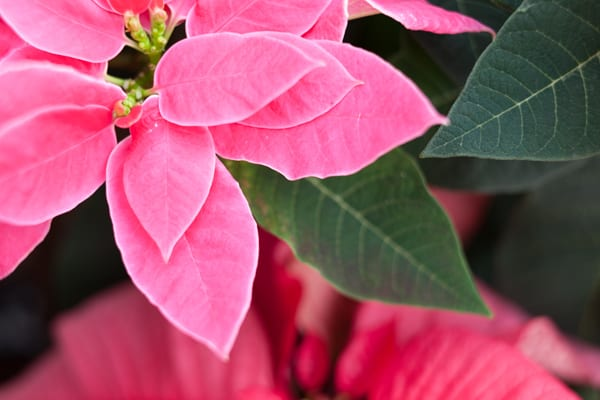 luv-u-pink-poinsettia-stars-for-europe-2016-flowerona-5