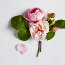 Pink-Rose-Feature