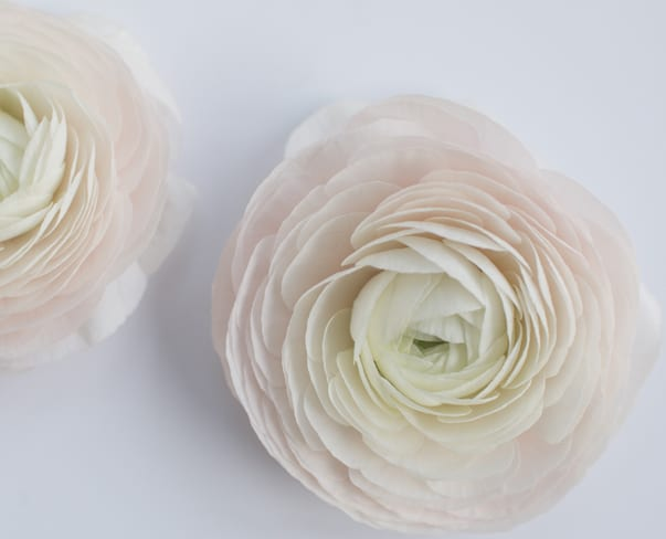 Ranunculus | Flowerona A-Z | flowerona TV