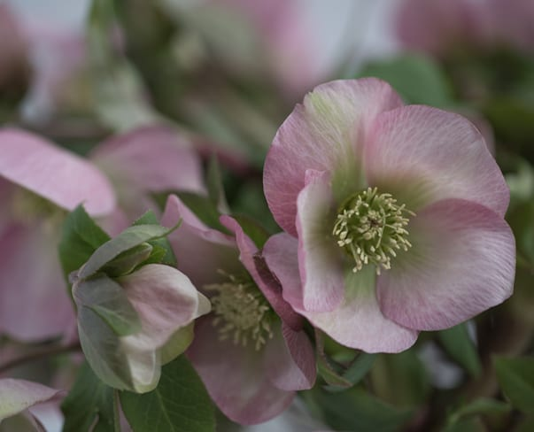 Heavenly regally named Hellebores…Queens Light Pink, Yellow & Red