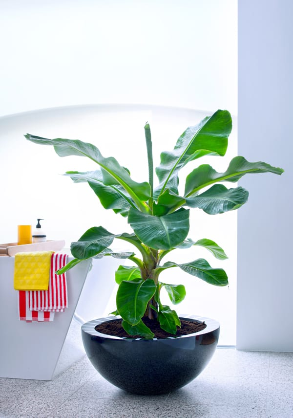 houseplant of the month banana tree flowerona. Black Bedroom Furniture Sets. Home Design Ideas