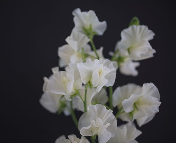 Exquisitely scented sweet peas…in a multitude of different colours