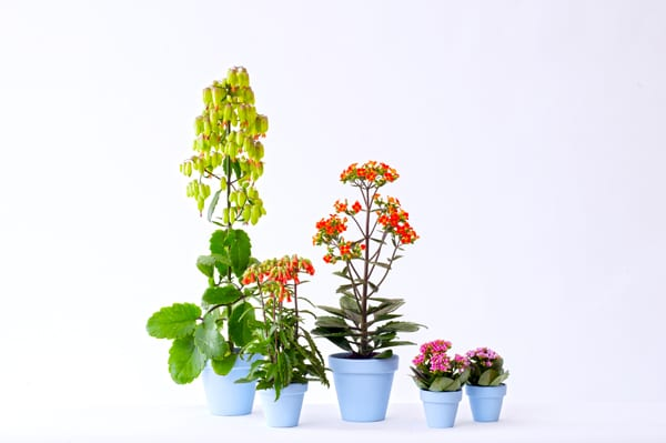 Houseplant of the Month - Kalanchoe on trees names, african violet names, flowers names, palm houseplants names, wildflowers names, tropical houseplants names,