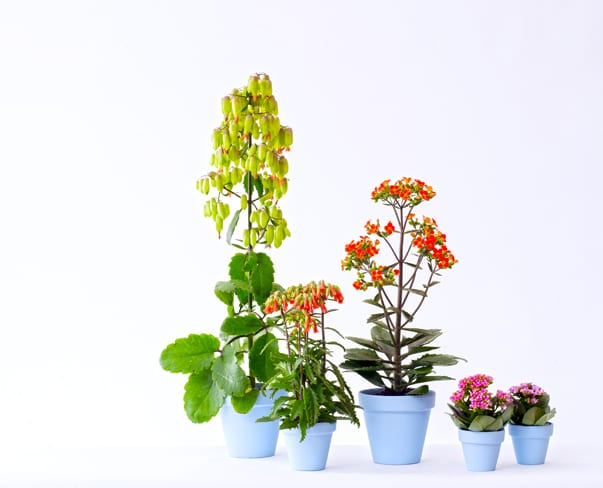 Houseplant of the Month – Kalanchoe