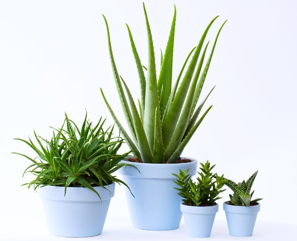 Houseplant of the Month – Aloe