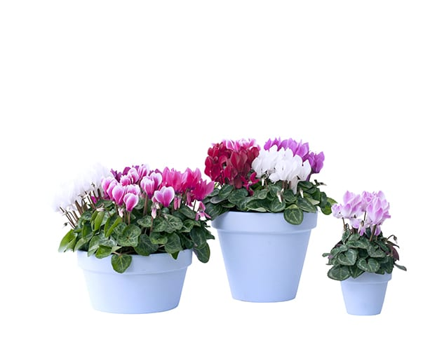 Houseplant of the Month – Cyclamen