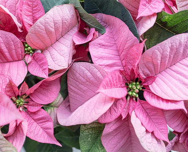New Instagram Photo Competition | #UnderThePoinsettiaSpell