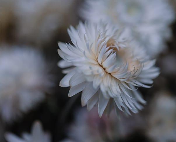 On Trend   Helichrysum, Strawflower, Everlasting Flower