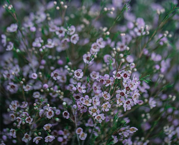 A Florist's Guide to Waxflower | New Covent Garden Market