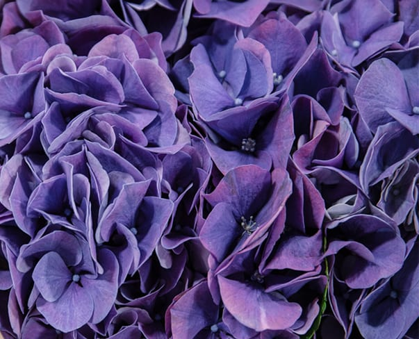 A Florist's Guide to Ultra Violet – Pantone Color of the Year 2018 | New Covent Garden Market