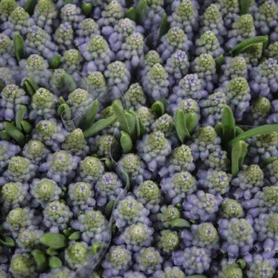 In Season at New Covent Garden Flower Market – February 2019