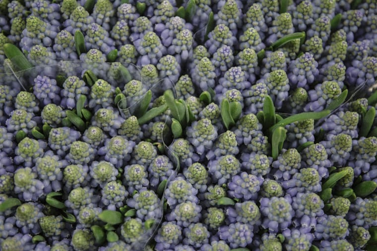 Muscari also know as Grape Hyacinths at New Covent Garden Flower Market in London
