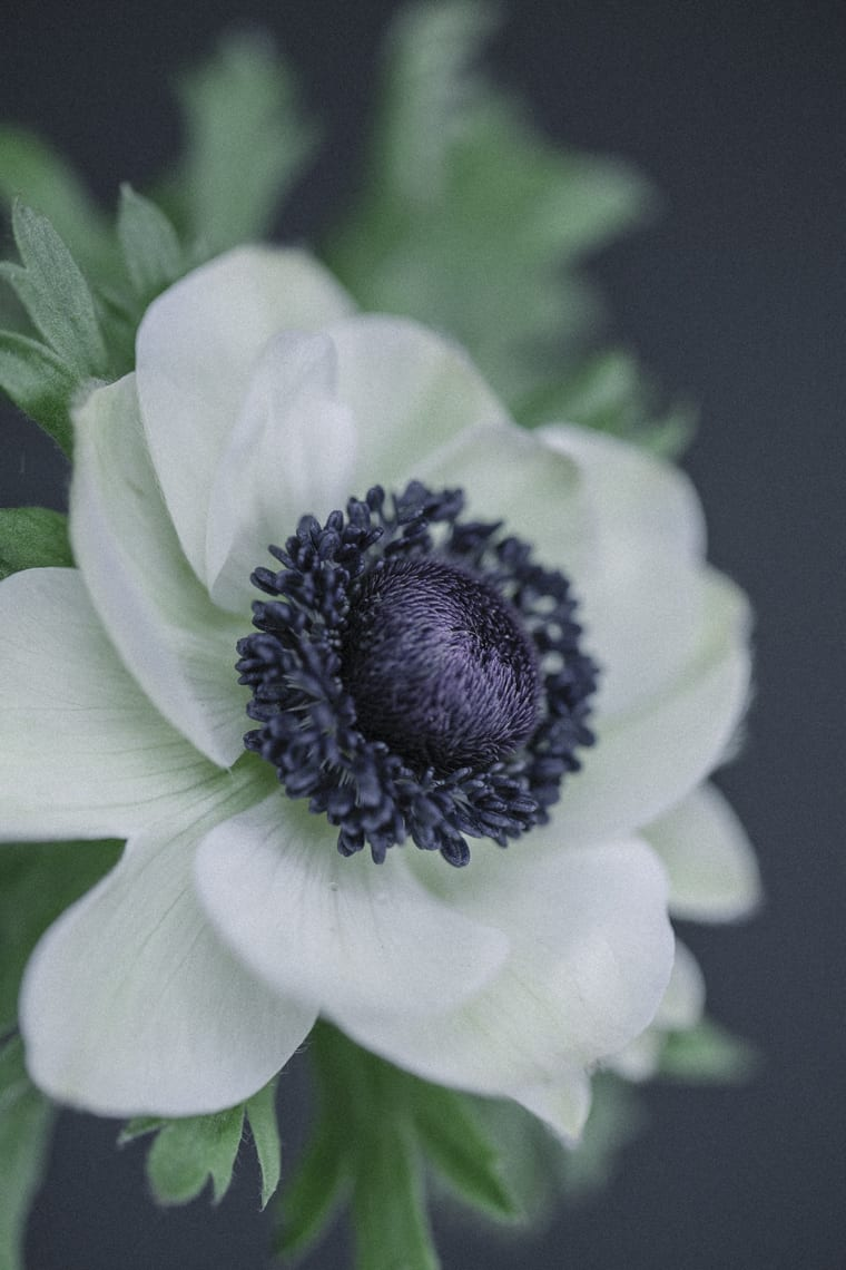 Close-up of white anemone with black centre