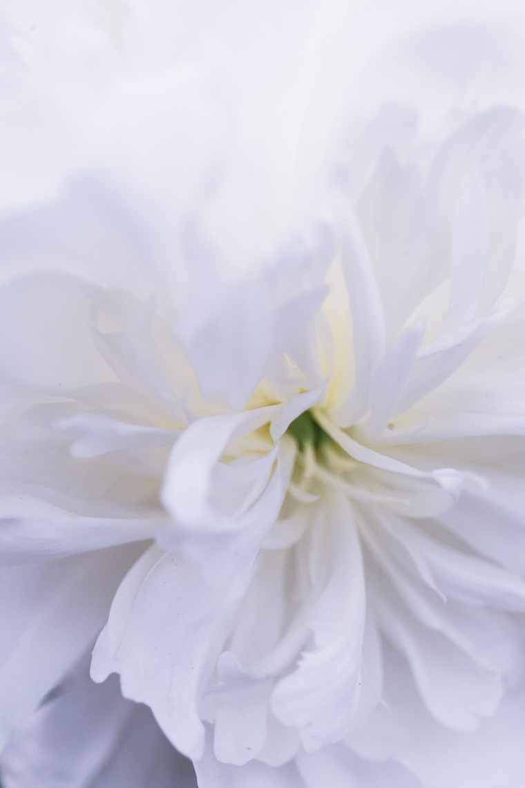 White Peony at the RHS Chelsea Flower Show 2018