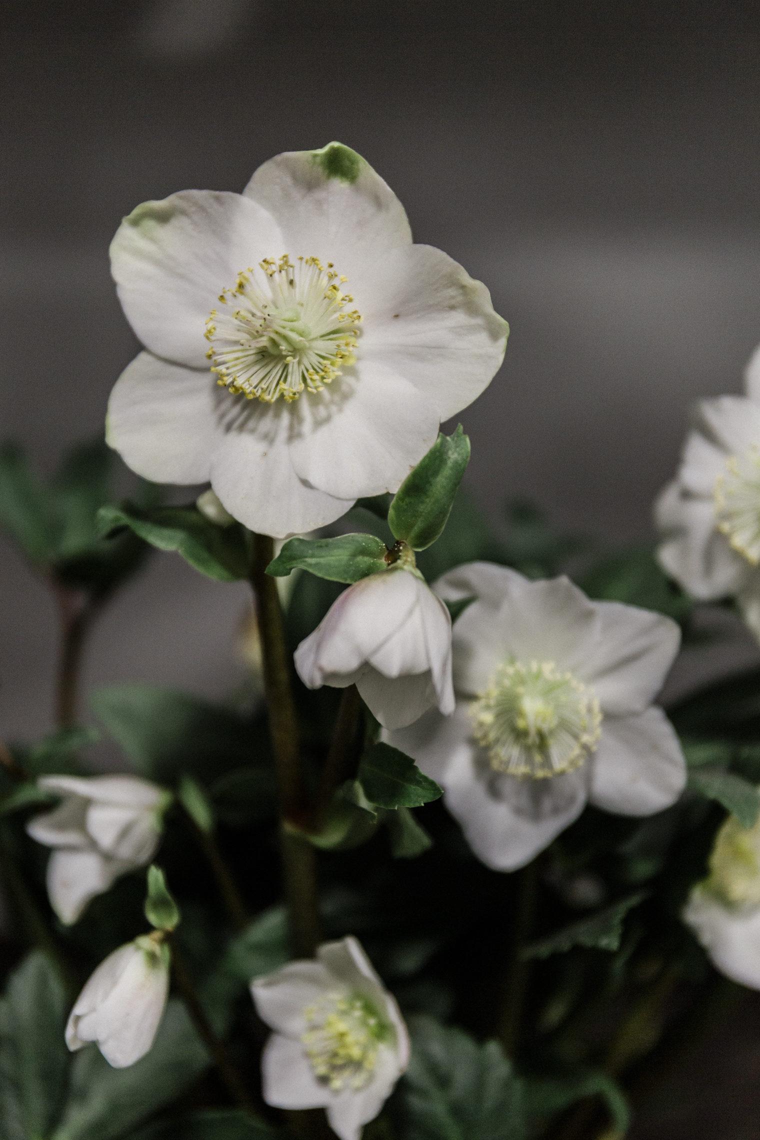 Seasonal Flowers and Plants - Hellebore