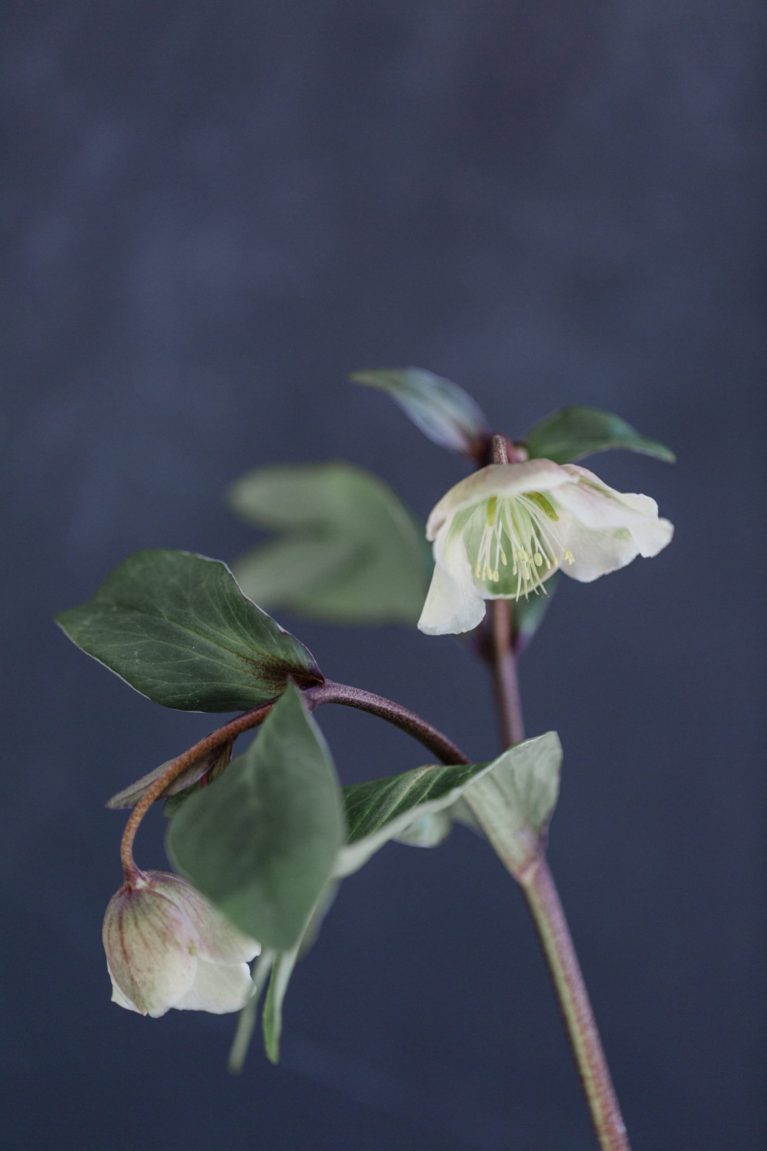 Foliage & Plant Trends 2020 - Helleborus Magnicent Bells