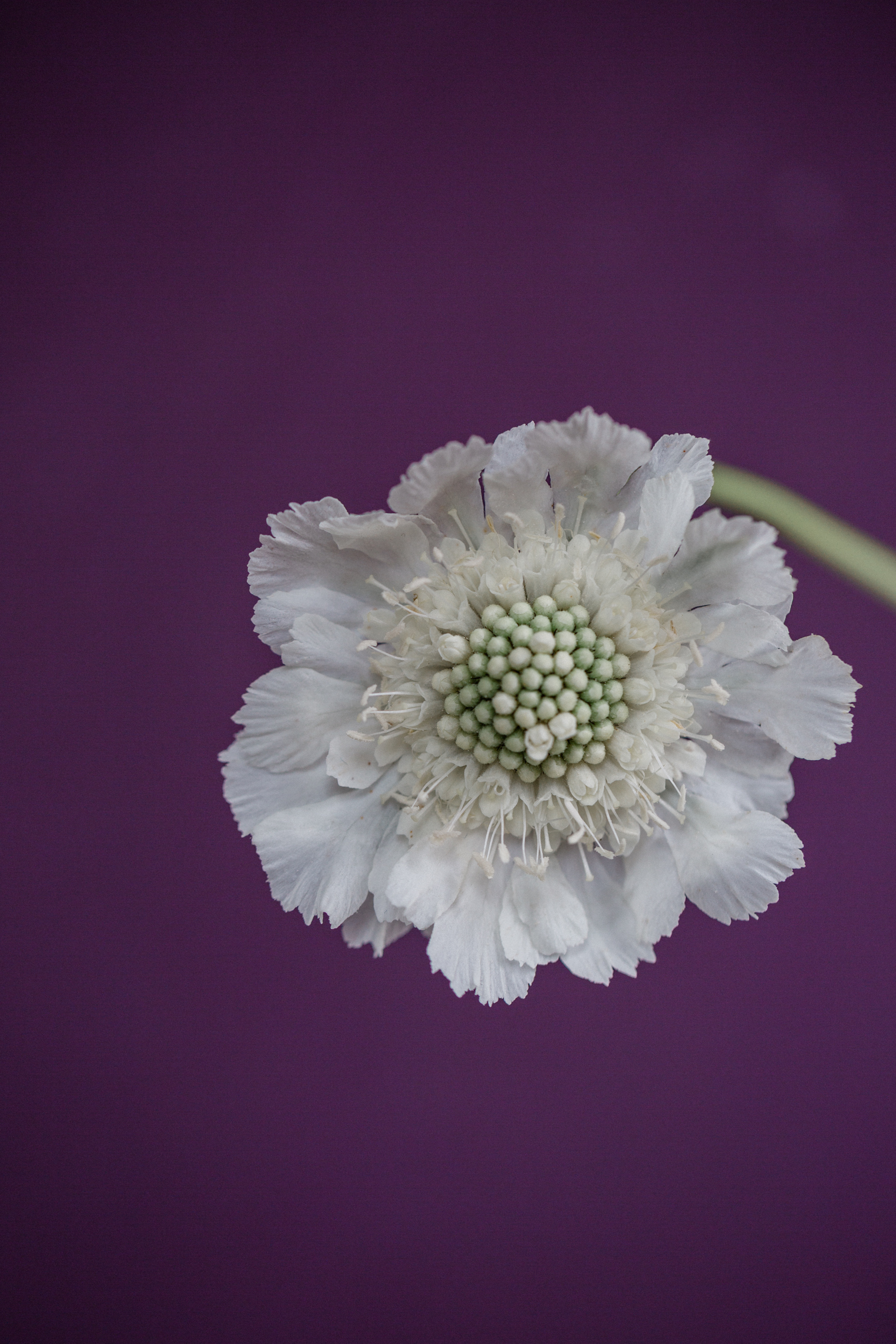 White Scabious Flower