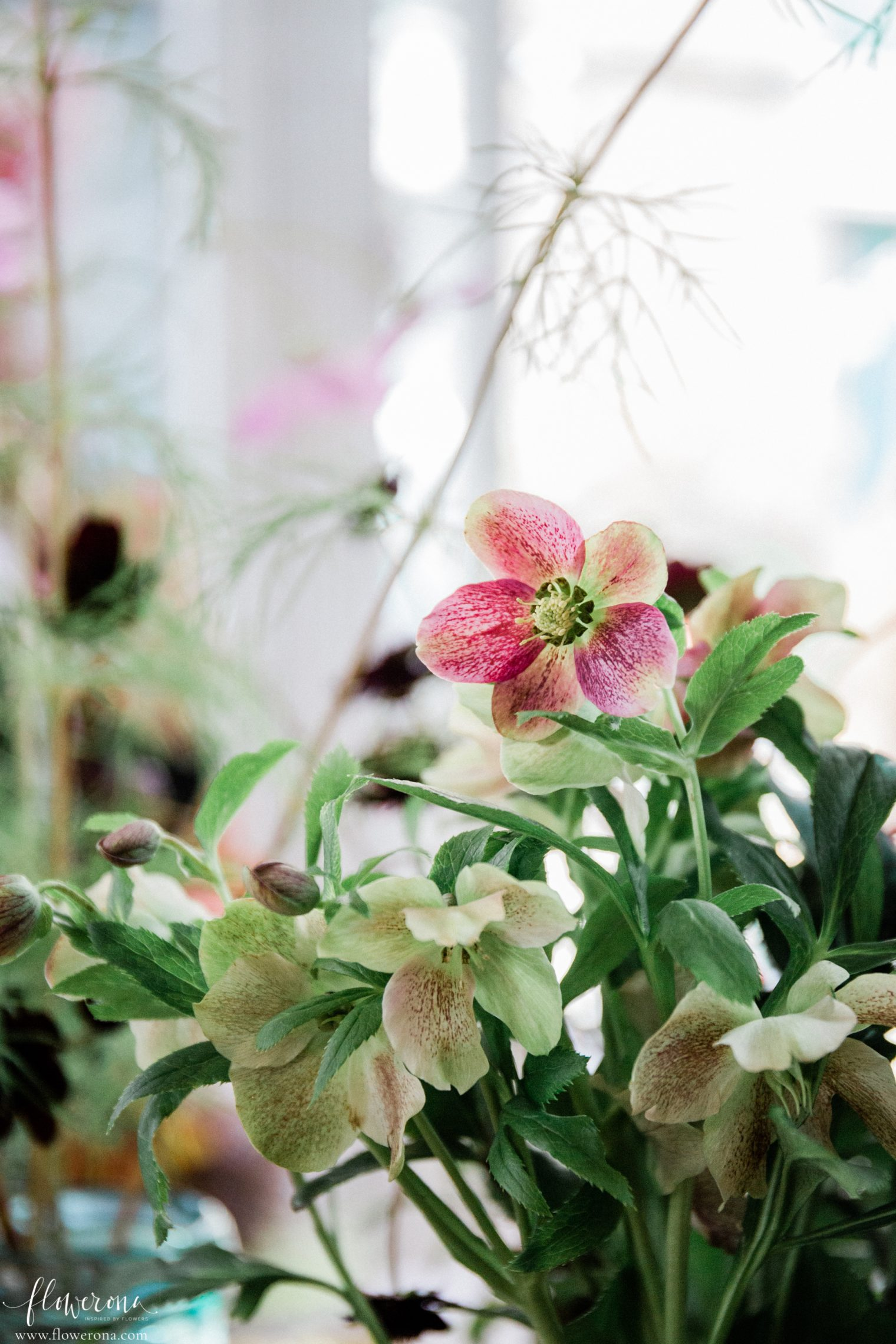Hellebore plant