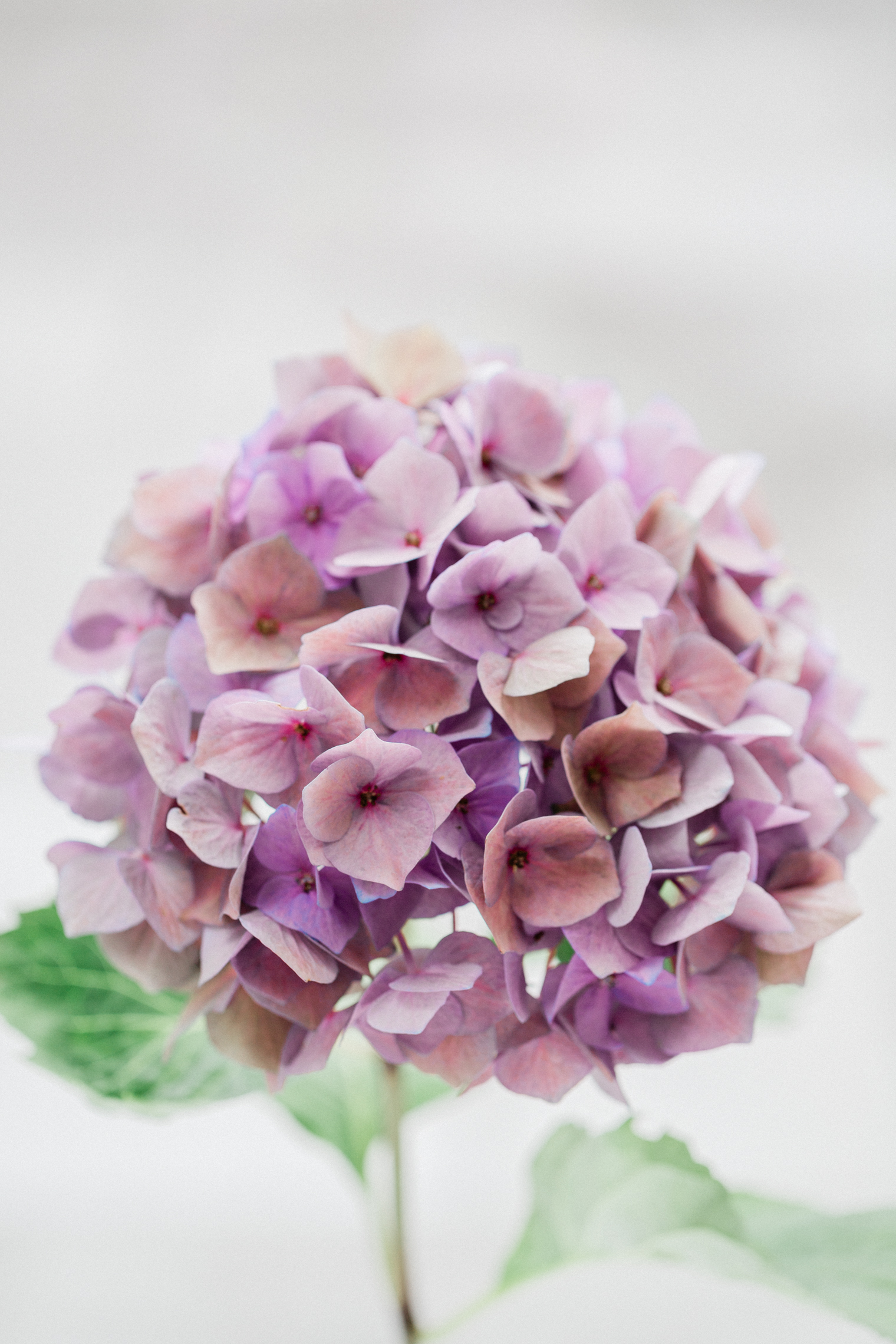 Hydrangea Lead Image - Pandemic Opportunity for Local Growers