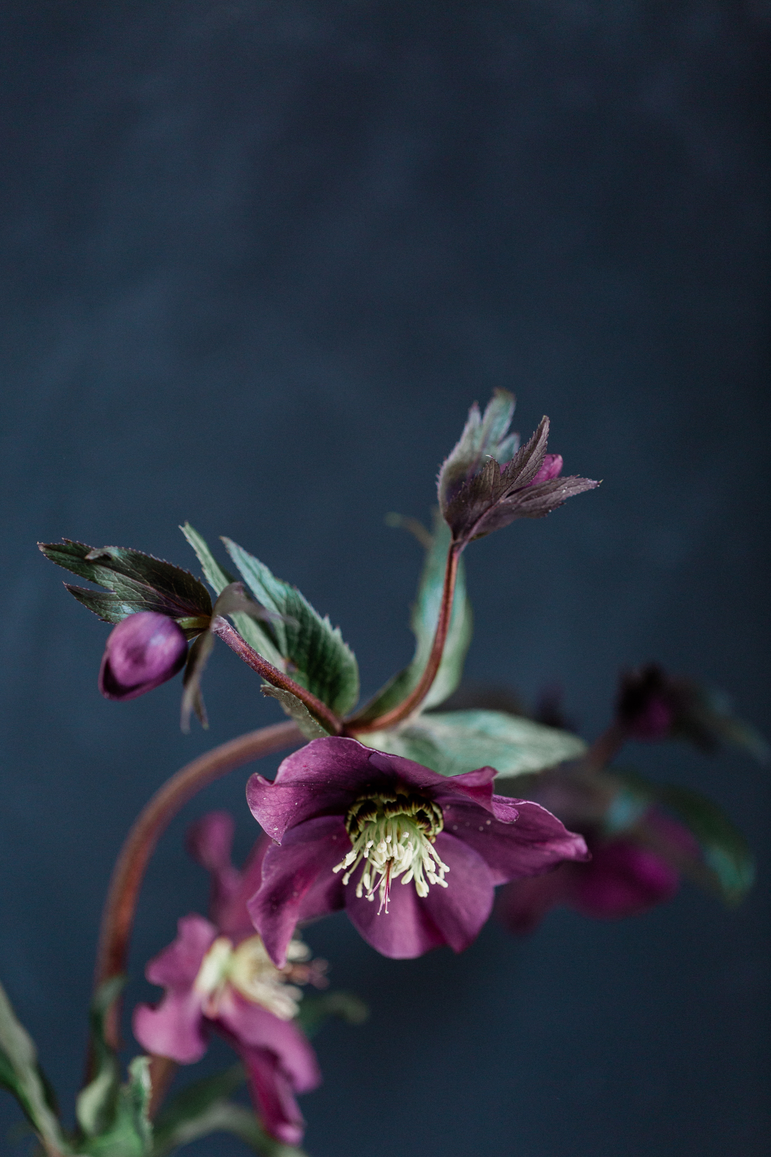 Constance Spry   Floristry Industry Insight   Hellebore