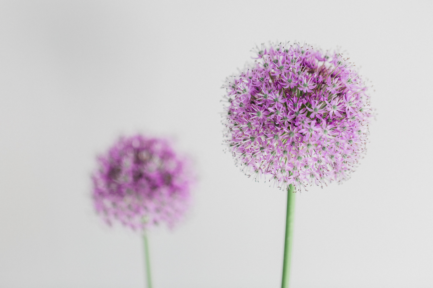 Flowerona's 10th Birthday | Alliums