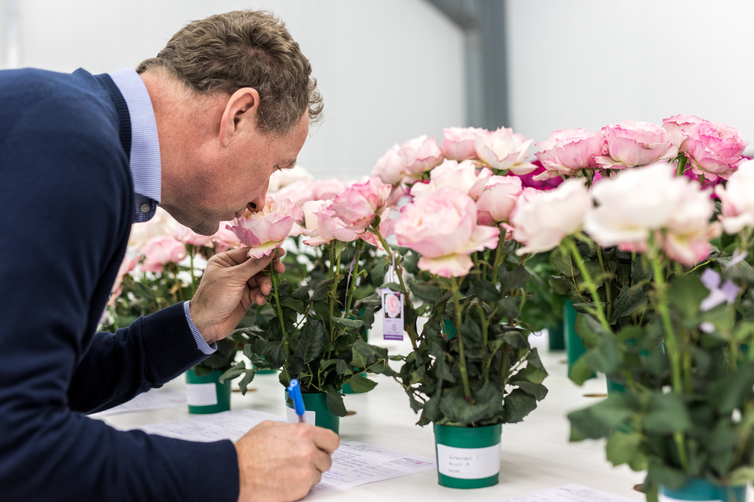 David J C Austin in the cut rose test house – scoring fragrance is one of the many attributes that are assessed.