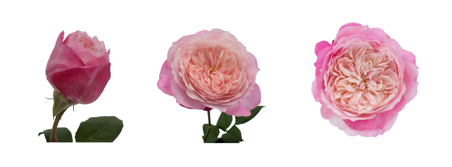 Constance (Austruss) – her transformation from bud to open bloom.   David Austin Wedding Roses   From Bud to Open Bloom