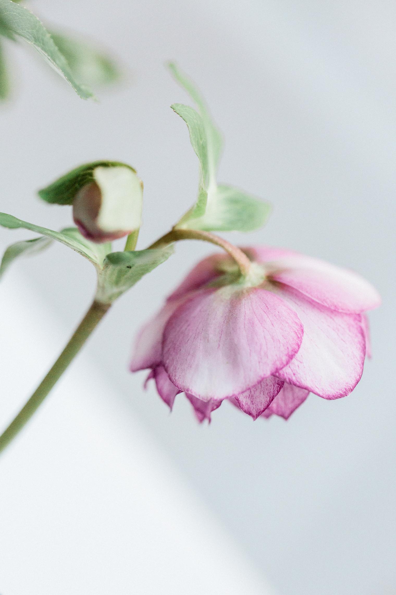 Flower Trends | Hellebore