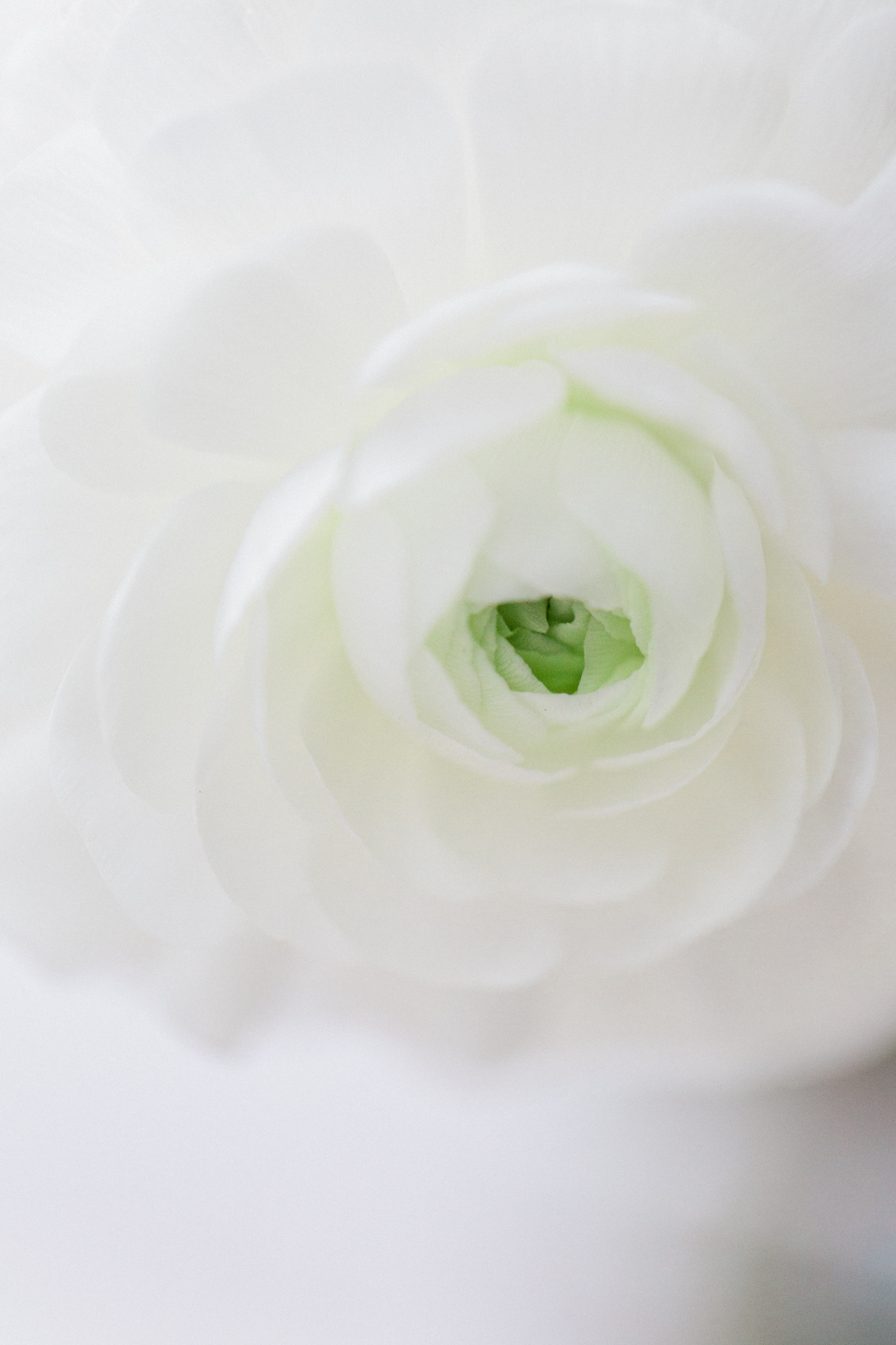 The consumption of flowers and plants | White Ranunculus Close Up