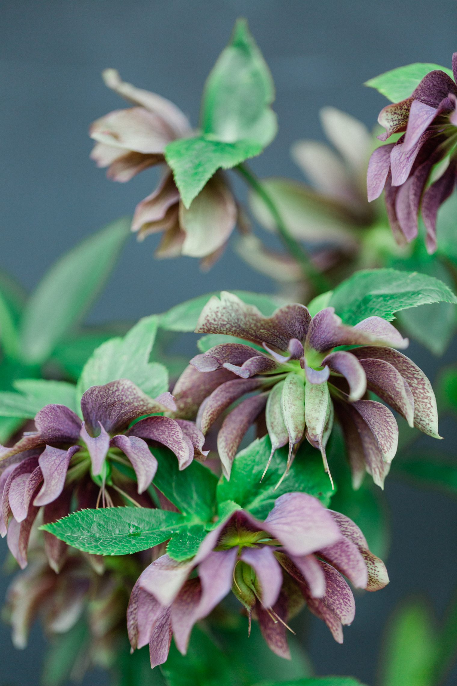 Hellebores | Time for a Spring Clean on Flowerona